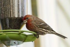 HusFinch på fågelförlagematare Arkivbild