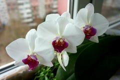 Husfloweron windowstillen: blomma vit färg för orkidéphalaenopsis arkivbild