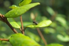 Husfluga på ett grönt blad Royaltyfri Bild