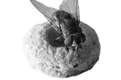 Husfluga på sädesslag Royaltyfria Foton