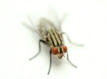 Husfluga på vitt tyg royaltyfri foto