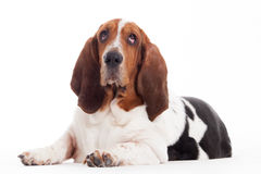 Hush puppy lays down Royalty Free Stock Image