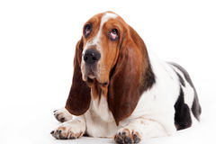 Hush puppy lays down. Happy dog photographed in the studio on a white background stock photography