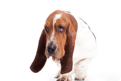 Hush puppy walking. Happy dog photographed in the studio on a white background royalty free stock photography
