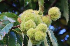 Husk on a chestnut tree branch Stock Photo