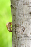 Husk of cicada close-up to the cicada slough holding with the tree. Royalty Free Stock Image