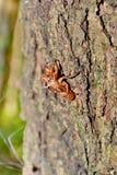 Husk of cicada Husk of cicada Husk of cicada Royalty Free Stock Photos