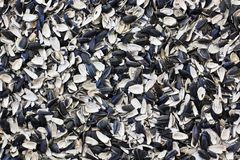 Husk sunflower seeds. Sunflower close-up royalty free stock image