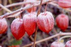 Husk tomato fruits covered with snow. Royalty Free Stock Images