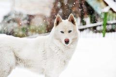 Huskey bianco Immagini Stock