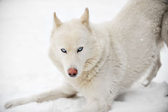 Huskey blanc Photographie stock libre de droits