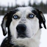 Huskey d'Alasca Fotografia Stock