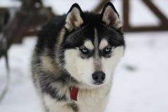 Huskey dog. Lovely huskey dog walking, closeup Stock Photography