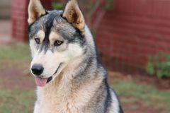 Huskey Dog Thinking royalty free stock photo