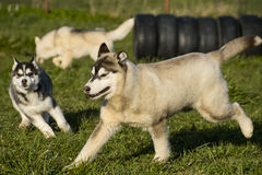 Huskey. Having fun outdoor royalty free stock images