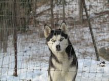 Dixie the huskey. Huskey outside in the snow Stock Images