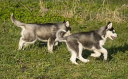 Huskey. Puppys runnng having fun royalty free stock image