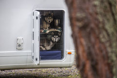 Huskeys in a dog cage Stock Image