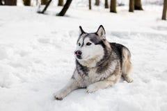 Huski在雪放置 免版税库存照片