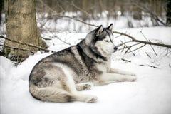 Huski是在树旁边 库存照片