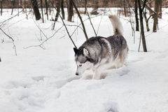 Huski ищет Стоковое фото RF