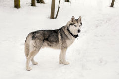 Huski is around snowing weather. Huski with collar is standing against of snow with trees Royalty Free Stock Photography