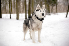 Huski with blue eyes and snow. Cute huski with black collar is standing against of snow with trees Stock Photo