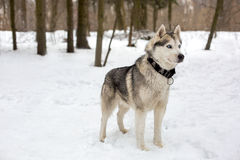 Huski with collar and snowing weather. Cute huski with collar is standing against of snow with trees Royalty Free Stock Photography