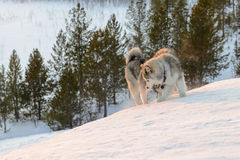 Huski dogs on  Yamal Peninsula Stock Photo