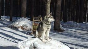 Huski-Hund, der auf dem Schnee sitzt und herum aufpasst stock footage