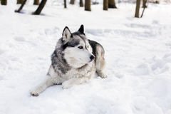 Huski is laying. Huski  is having little rest around white snow with trees Royalty Free Stock Images