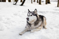 Huski is laying on snow. Huski  is having little rest around  snow with trees Royalty Free Stock Photos