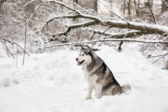 Huski with opening red tongue. Huski is sitting on white snow around the forest Royalty Free Stock Images