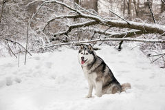 Huski with opening tongue. Huski is sitting on white snow around the forest with trees Stock Images