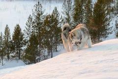 Huski psy na Yamal półwysepie zdjęcie stock