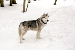 Huski and snowing weather. Huski with collar is standing against of snow Royalty Free Stock Photos