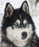 Huskie Royalty Free Stock Photo