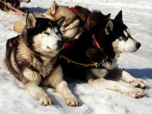 Huskie auf Schnee Lizenzfreie Stockbilder