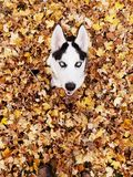 Huskie stock images