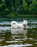 Huskie running in the water, dog enjoy in the river, dog swimming, portrait of swimming dog in wild river, huskie portrait close Stock Image