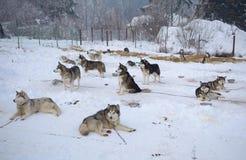 Huskies που στηρίζεται υπαίθρια Στοκ Εικόνες