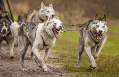 huskies Σιβηριανός Στοκ Εικόνες