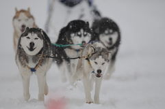 Huskies Stock Images