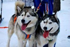 huskies Fotos de Stock Royalty Free