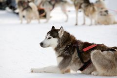 Huskies Stock Photography