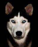 huskies Imagem de Stock Royalty Free