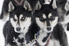 Huskies. Two Huskies in front of a sledge Royalty Free Stock Photography