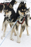 Huskies. Two Huskies in front of a sledge in snow Stock Photography