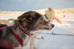 Huskies aan slee wordt uitgerust die stock foto