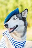 Huskies dog dressed in a marine uniform on the background outdoors Stock Photo